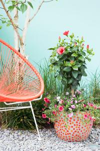hibiscus_terrasplant_vd_maand2